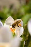 Abeja que cosecha la miel de las flores Imágenes de archivo libres de regalías