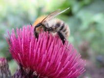 Abeja que cosecha una flor rosada Imagen de archivo libre de regalías