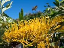 Abeja que deja un árbol no identificado en Marbella lleno de flujo amarillo Fotos de archivo