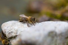 Abeja que descansa sobre piedra Macro del insecto Imagen de archivo libre de regalías