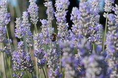 Abeja que descansa sobre una flor púrpura que chupa el néctar Fotos de archivo