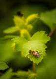 Abeja que descansa sobre una hoja del pepino salvaje Foto de archivo libre de regalías