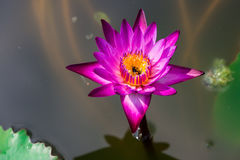 Abeja que duerme dentro de lirio de agua púrpura grande Imágenes de archivo libres de regalías
