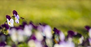 Abeja que espera con la flor magenta Imagenes de archivo