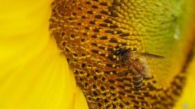 Abeja que extrae el polen Imagen de archivo