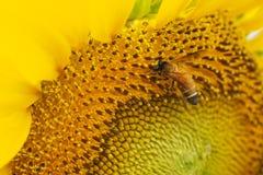 Abeja que extrae el polen Imagenes de archivo