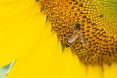 Abeja que extrae el polen Fotos de archivo libres de regalías