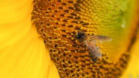 Abeja que extrae el polen Fotografía de archivo libre de regalías