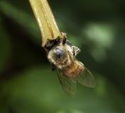Abeja que extrae el polen de la flor de Firebush Fotos de archivo