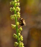 Abeja que forrajea en el tronco de pequeñas flores salvajes Imagen de archivo