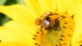 Abeja que forrajea en un girasol durante una tarde hermosa del verano tardío metrajes