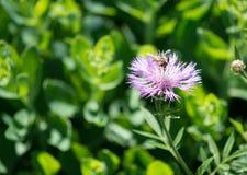 Abeja que forrajea en una flor púrpura en el campo Foto de archivo libre de regalías