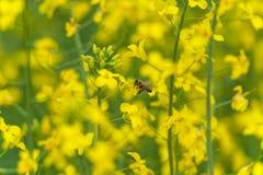 Abeja que hace la miel en el flor de la rabina Fondo borroso amarillo Macro Imagen de archivo