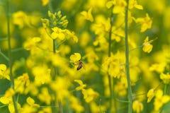 Abeja que hace la miel en el flor de la rabina Fondo borroso amarillo Macro Fotos de archivo
