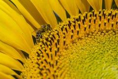 Abeja que intenta encontrar el mejor polen en el jefe del girasol, macro Fotos de archivo
