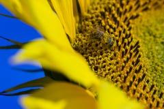Abeja que intenta encontrar el mejor polen en el jefe del girasol, macro Fotografía de archivo