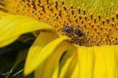 Abeja que intenta encontrar el mejor polen en el jefe del girasol, macro Imagen de archivo libre de regalías