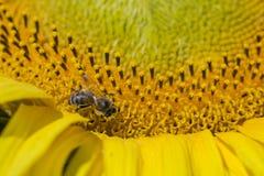 Abeja que intenta encontrar el mejor polen en el jefe del girasol, macro Imagenes de archivo