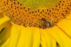 Abeja que intenta encontrar el mejor polen en el jefe del girasol, Ucrania C Imagen de archivo libre de regalías