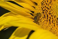 Abeja que intenta encontrar el mejor polen en el jefe del girasol, Ucrania C Imagenes de archivo