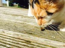 Abeja que lucha un gato Imágenes de archivo libres de regalías