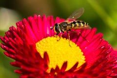 Abeja que permanece en una flor Fotografía de archivo libre de regalías