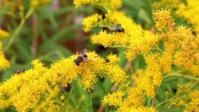 Abeja que poliniza cierre amarillo de la flor para arriba Abeja, avispa y mosca en la flor amarilla almacen de metraje de vídeo