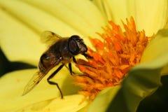 Abeja que poliniza a Dahlia Flower Dark Background amarilla Imagen de archivo