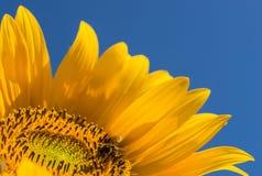 Abeja que poliniza el flor amarillo brillante del girasol en un día soleado con el cielo azul profundo Fotografía de archivo libre de regalías