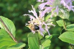 Abeja que poliniza el wildflower púrpura Imagenes de archivo