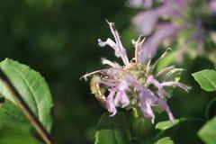 Abeja que poliniza el wildflower púrpura Imágenes de archivo libres de regalías
