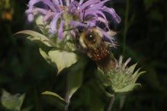 Abeja que poliniza el wildflower púrpura Imagen de archivo libre de regalías