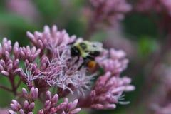 Abeja que poliniza el wildflower púrpura en Ontario Canadá Fotografía de archivo libre de regalías