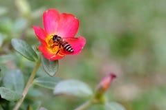 Abeja que poliniza en la flor en el jardín Imagenes de archivo