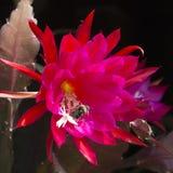 Abeja que poliniza en la floración roja ardiente del cactus Imágenes de archivo libres de regalías
