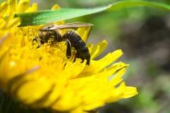 Abeja que poliniza en una flor amarilla en el jardín Foto de archivo