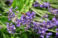 Abeja que poliniza en vuelo las flores de la lavanda que recogen el néctar Imagen de archivo libre de regalías