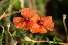 Abeja que poliniza la amapola en un prado Foto de archivo libre de regalías