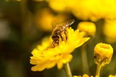 Abeja que poliniza la flor amarilla Fotografía de archivo