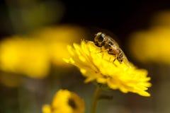 Abeja que poliniza la flor amarilla Fotos de archivo