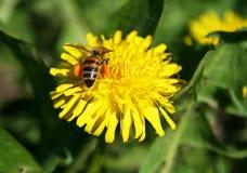 Abeja que poliniza la flor amarilla Foto de archivo libre de regalías