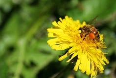Abeja que poliniza la flor amarilla Fotos de archivo libres de regalías