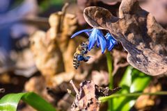 Abeja que poliniza la flor azul floreciente del snowdrop cubierta con la hoja del roble Imagenes de archivo