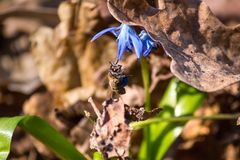 Abeja que poliniza la flor azul floreciente del snowdrop cubierta con la hoja del roble Fotografía de archivo libre de regalías