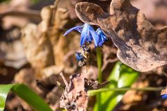 Abeja que poliniza la flor azul floreciente del snowdrop cubierta con la hoja del roble, en el bosque de la primavera Imagen de archivo