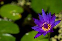 Abeja que poliniza la flor de loto púrpura Fotos de archivo libres de regalías