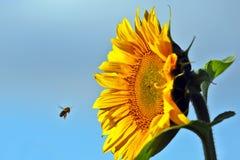 Abeja que poliniza la flor de un primer del girasol Fotos de archivo