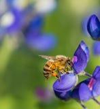 Abeja que poliniza la flor del bluebonnet de Tejas Imagen de archivo