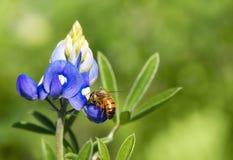 Abeja que poliniza la flor del bluebonnet de Tejas Fotografía de archivo