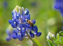 Abeja que poliniza la flor del bluebonnet de Tejas Fotos de archivo
